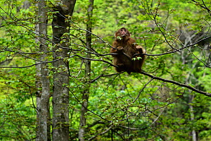 Tibetan macaque (Macaca thibetana) sitting in a tree in Tangjiahe Nature Reserve, Sichuan Province, China  -  Magnus Lundgren / Wild Wonders of China