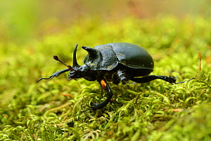 Rhinoceros beetle (Oryctes sp) on a moss covered tree trunk , Tangjiahe National Nature Reserve, Sichuan Province, China  -  Magnus Lundgren / Wild Wonders of China