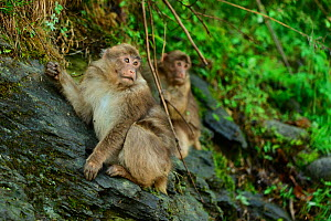 Tbetan macaques (Macaca thibetana) juveniles on rock, in Tangjiahe Nature Reserve, Sichuan Province, China  -  Magnus Lundgren / Wild Wonders of China