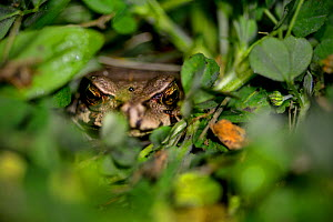 Asiatic toad or Chusan Island toad (Bufo gargarizans) endemic to East Asia. Tangjiahe National Nature Reserve, Sichuan Province, China - Magnus Lundgren / Wild Wonders of China