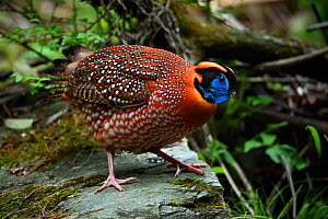Temminck's tragopan (Tragopan temminckii) male on a stone , Tangjiahe National Nature Reserve, Sichuan Province, China - Magnus Lundgren / Wild Wonders of China