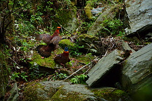Temminck's tragopans (Tragopan temminckii ) males fighting on a stone near a waterfall, Tangjiahe National Nature Reserve, Sichuan Province, China - Magnus Lundgren / Wild Wonders of China