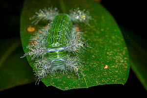 Caterpillar (Automeris sp) on a leaf, Tai Mo Shan Country Park, Hong Kong, China.  -  Magnus Lundgren / Wild Wonders of China