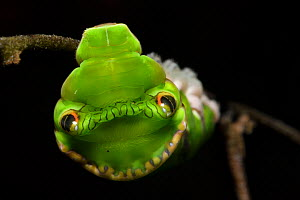 Red Helen swallowtail butterfly caterpillar (Papilio helenus) showing snake mimicry, Tai Mo Shan Country Park, Hong Kong, China  -  Magnus Lundgren / Wild Wonders of China