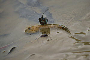Bluespotted mudskippers (Boleophthalmus pectinirostris) skipping along the beach, Hong Kong Wetland Park, Hong Kong, China. - Magnus Lundgren / Wild Wonders of China