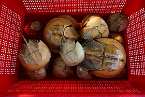 Old shells of Chinese horseshoe crab (Tachypleus tridentatus) Ha Pak Nai, Yuen Long District, Hong Kong, China.  -  Magnus Lundgren / Wild Wonders of China