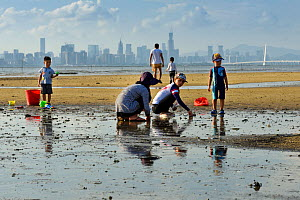 Local people using salt to catch mollusks in the mud. This risks creating a unbalanced salinity in Ha Pak Nai wetlands, Yuen Long District facing Deep Bay, New territories, Hong Kong, China. June, 201...  -  Magnus Lundgren / Wild Wonders of China