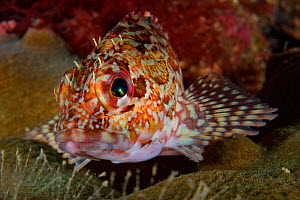 Marbled rockfish (Sebastiscus marmoratus) Sharp Island, Hong Kong, China.  -  Magnus Lundgren / Wild Wonders of China