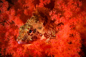 Marbled rockfish (Sebastiscus marmoratus) camouflaged in coral, Ninepin Group or Kwo Chau Islands, Sai Kung District, Hong Kong, China.  -  Magnus Lundgren / Wild Wonders of China
