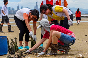 Secondary school students releasing juvenile Chinese horseshoe crabs (Tachypleus tridentatus) that has been bred by City University of Hong Kong, Ha Pak Nai wetlands, Yuen Long District, Hong Kong, Ch...  -  Magnus Lundgren / Wild Wonders of China