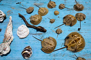 Shells fron the Chinese horseshoe crab, (Tachypleus tridentatus) Ha Pak Nai Wetlands, Yuen Long, Hong Kong, China.  -  Magnus Lundgren / Wild Wonders of China