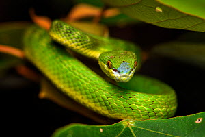 White-lipped pit viper (Trimeresurus albolabris) Lantau Island, Hong Kong, China - Magnus Lundgren / Wild Wonders of China