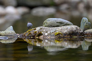 Plumbeous water redstart (Phoenicurus fuliginosus) on a rock in the water, Tangjiahe National Nature Reserve, Sichuan Province, China - Magnus Lundgren / Wild Wonders of China