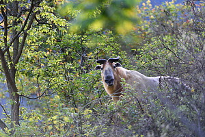 Takin (Budorcas taxicolor) looking at camera, Tangjiahe National Nature Reserve, Sichuan Province, China - Magnus Lundgren / Wild Wonders of China