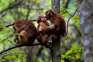 Tibetan macaque (Macaca thibetana) juveniles interacting in a tree in Tangjiahe Nature Reserve, Sichuan Province, China  -  Magnus Lundgren / Wild Wonders of China