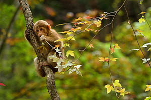 Tibetan macaque (Macaca thibetana) juvenile in a tree in Tangjiahe Nature Reserve, Sichuan Province, China  -  Magnus Lundgren / Wild Wonders of China