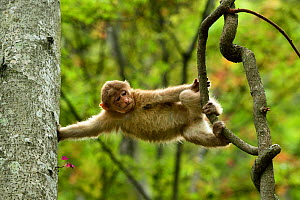 Tibetan macaque (Macaca thibetana) juvenile climbing in a tree in Tangjiahe Nature Reserve, Sichuan Province, China - Magnus Lundgren / Wild Wonders of China