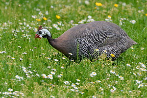Helmeted guineafowl (Numida meleagris) peering at Soldier beetle (Cantharis rustica) with warning colouration, whilst foraging for insects in meadow. Domesticated. Near Bath, England, UK. May. - Nick Upton