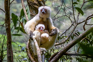 Silky sifaka (Propithecus candidus), female with baby sitting in rainforest understorey. Mid-altitude montane rainforest, Marojejy National Park, north-east Madagascar. - Nick Garbutt