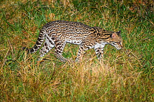 Ocelot (Leopardus pardalis) foraging in grassland at night. Caiman Ecological Refuge, Southern Pantanal, Moto Grosso do Sul, Brazil.  -  Nick Garbutt