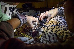 Veterinarian from Project Oncafari measuring teeth and jaw of Jaguar (Panthera onca palustris) female trapped following the death of a Cow. Caiman Lodge, southern Pantanal, Mato Grosso do Sul, Brazil....  -  Nick Garbutt