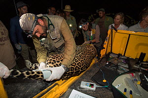 Veterinarian from Project Oncafari taking measurements of Jaguar (Panthera onca palustris) female trapped following the death of a Cow. Caiman Lodge, southern Pantanal, Mato Grosso do Sul, Brazil. Sep...  -  Nick Garbutt