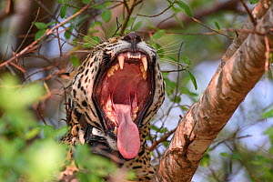 Jaguar (Panthera onca palustris) female yawning with mouth wide open, wearing Oncafari Project radio collar. Caiman Lodge, southern Pantanal, Mato Grosso do Sul, Brazil. September 2017.  -  Nick Garbutt
