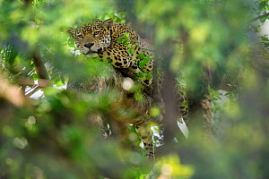 RF - Jaguar (Panthera onca palustris), female resting in tree. Oncafari Project, Caiman Lodge, southern Pantanal, Mato Grosso do Sul, Brazil. (This image may be licensed either as rights managed or ro... - Nick Garbutt