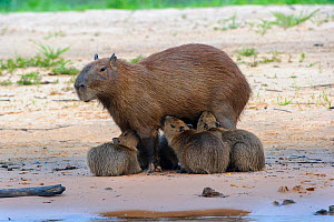 Capybara (Hydrochoerus hydrochaeris) female with litter of suckling pups. Banks of the Cuiaba River, Pantanal, Mato Grosso, Brazil. - Nick Garbutt