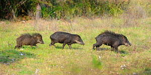 White-lipped peccary (Tayassu pecari), three walking in a row. Pousada Aguape, southern Pantanal, Mato Grosso do Sul, Brazil. - Nick Garbutt
