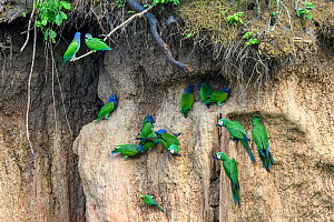 Red-bellied macaw (Orthoptera manilata) and Blue-headed parrot (Pionus menstruus) flock feeding at clay lick. Heath River, Tambopata / Bahuaja-Sonene Reserves, Amazonia, Peru / Bolivia border.  -  Nick Garbutt