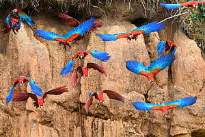 Red-and-green macaw (Ara chloropterus) flock flying in front of clay lick. Heath River, Tambopata / Bahuaja-Sonene Reserves, Amazonia, Peru / Bolivia border.  -  Nick Garbutt