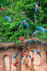 Red-and-green macaw (Ara chloropterus) flock feeding at wall of clay lick, flying and perched in trees. Heath River, Tambopata / Bahuaja-Sonene Reserves, Amazonia, Peru / Bolivia border.  -  Nick Garbutt