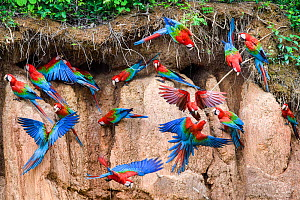 RF - Red-and-green macaw (Ara chloropterus) flock feeding and flying. Wall of clay lick, Heath River, Tambopata / Bahuaja-Sonene Reserves, Amazonia, Peru / Bolivia border. (This image may be licensed...  -  Nick Garbutt
