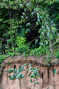 Mealy parrot (Amazona farinosa) and Blue-headed parrot (Pionus menstruus) flock feeding at wall of clay lick and perching above in trees. Manu Wildlife Center, Manu Biosphere Reserve, Amazonia, Peru....  -  Nick Garbutt