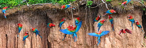 Red-and-green macaw (Ara chloropterus) flock feeding at wall of clay lick. Heath River, Tambopata / Bahuaja-Sonene Reserves, Amazonia, Peru / Bolivia border.  -  Nick Garbutt