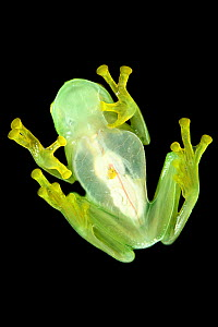 Bell glass frog (Cochranella nola) from below, photographed on a pane of glass in Manu Biosphere Reserve, Peru.  -  Nick Garbutt
