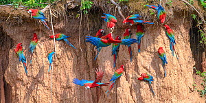 Red-and-green macaw (Ara chloropterus) flock feeding at clay lick. Heath River, Tambopata / Bahuaja-Sonene Reserves, Amazonia, Peru / Bolivia border.  -  Nick Garbutt