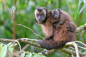 Tufted / Brown capuchin (Cebus apella), female with baby on back, sitting in tree, mid-altitude montane forest, Manu Biosphere Reserve, Peru. - Nick Garbutt