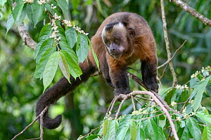 Tufted / Brown capuchin (Cebus apella), male standing in tree, mid-altitude montane forest, Manu Biosphere Reserve, Peru.. - Nick Garbutt