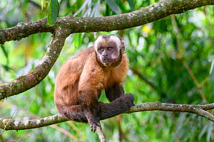 Tufted / Brown capuchin (Cebus apella), male sitting on branch in mid-altitude montane forest, Manu Biosphere Reserve, Peru. - Nick Garbutt