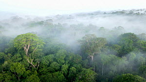 RF - Aerial view of lowland Amazonia rainforest in mist just after sunrise. Manu Biosphere Reserve, Amazonia, Peru. November 2017. (This image may be licensed either as rights managed or royalty free.... - Nick Garbutt