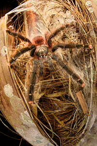 Pink-toed tarantula (Avicularia avicularia), female waiting in ambush outside daytime lair in palm tree trunk. Heath River, Tambopata / Bahuaja-Sonene Reserves, Amazonia, Peru / Bolivia border. - Nick Garbutt