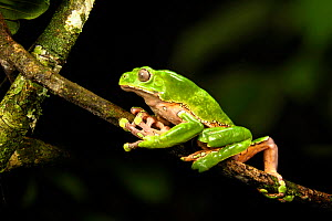 Giant waxy monkey / Leaf frog (Phyllomedusa bicolor) climbing on branch in rainforest canopy at night. Manu Biosphere Reserve, Peru.  -  Nick Garbutt
