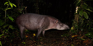 South American / Brazilian tapir (Tapirus terrestris) at night in lowland rainforest. Manu Biosphere Reserve, Peru. - Nick Garbutt