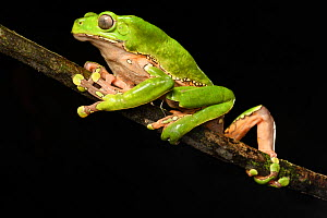 RF - Giant waxy monkey / Leaf frog (Phyllomedusa bicolor) climbing on branch at night. Manu Biosphere Reserve, Peru. (This image may be licensed either as rights managed or royalty free.)  -  Nick Garbutt