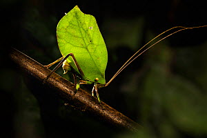 Bush cricket / Katydid (Tettigoniidae ), female leaf mimic ovipositing into branch. Manu Biosphere Reserve, Peru.  -  Nick Garbutt
