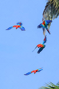 Red-and-green macaw (Ara chloropterus), four flying in palm trees. Manu Wildlife Center, Manu Biosphere Reserve, Peru.  -  Nick Garbutt