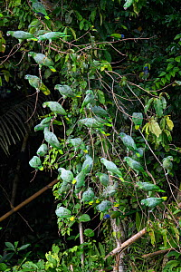 RF - Mealy parrot (Amazona farinosa) flock perching on branches above clay lick in rainforest. Manu Wildlife Center, Manu Biosphere Reserve, Peru. (This image may be licensed either as rights managed...  -  Nick Garbutt