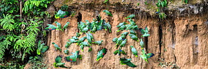 Mealy parrot (Amazona farinosa) and Blue-headed parrot (Pionus menstruus) flock feeding at clay lick. Manu Wildlife Center, Manu Biosphere Reserve, Peru.  -  Nick Garbutt